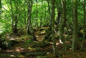 Sous bois du mont lozere